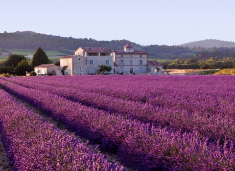 Lavender-field-headache-migraine-wikimedia-labled-for-reuse-960x699
