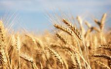 wheat__228x142